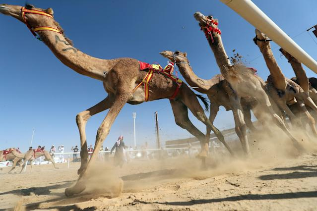 <p>Camels race during the annual Moreeb Dune Festival on Jan. 1 in the Liwa desert. (Photo: Karim Sahib/AFP/Getty Images) </p>
