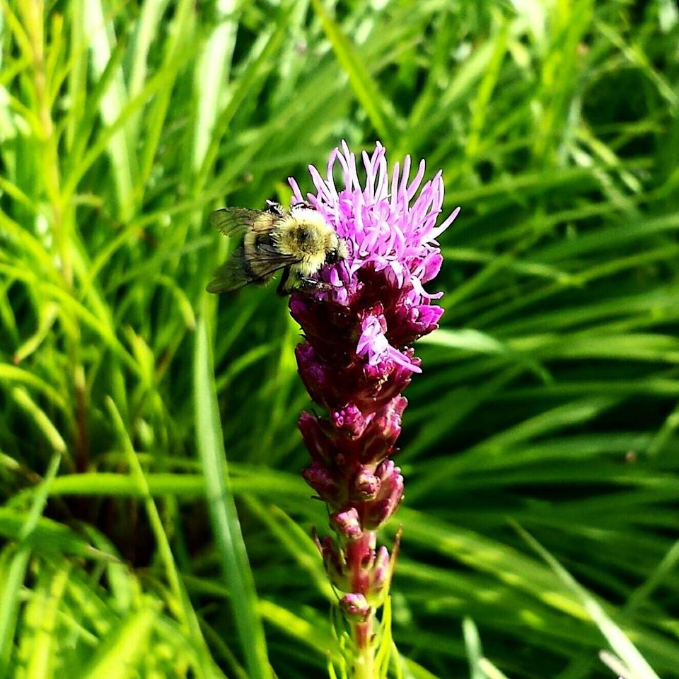 """<p>Bees will swarm to the bottle-brush shaped flowers of a liatris plant. Plant in the spring and wait for those summer blooms to appear.<br><br><a class=""""link rapid-noclick-resp"""" href=""""https://www.amazon.com/Purple-BLAZING-BUTTERFLY-LIATRIS-PERENNIAL/dp/B0798T5LD5/?tag=syn-yahoo-20&ascsubtag=%5Bartid%7C10050.g.32157369%5Bsrc%7Cyahoo-us"""" rel=""""nofollow noopener"""" target=""""_blank"""" data-ylk=""""slk:SHOP NOW"""">SHOP NOW</a></p>"""