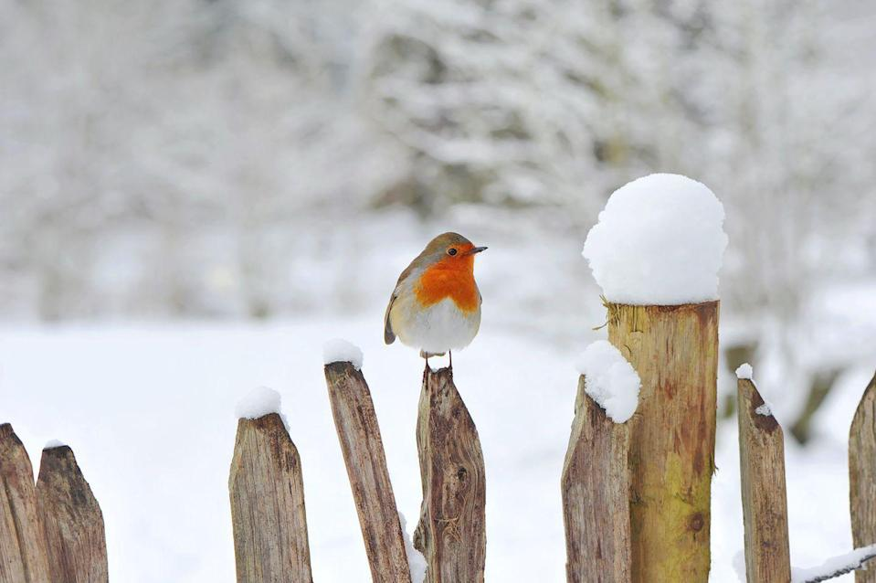 <p>England's national bird with a loud and proud red chest.</p>
