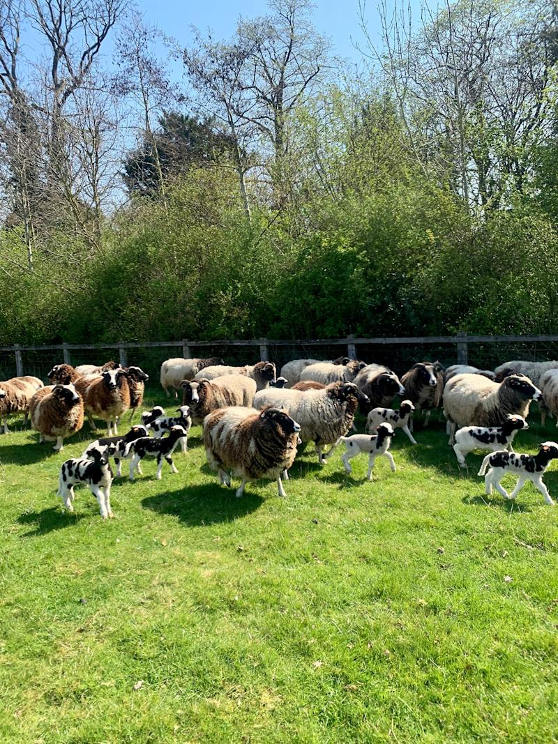 Jacob ewes and their lambs. My husband's family has been breeding this rare British breed for hundreds of years. They are remarkable for their spotted wool and little horns.