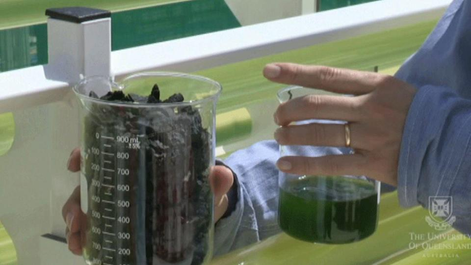 Researchers at the University of Queensland have found a way to turn algae into petrol.