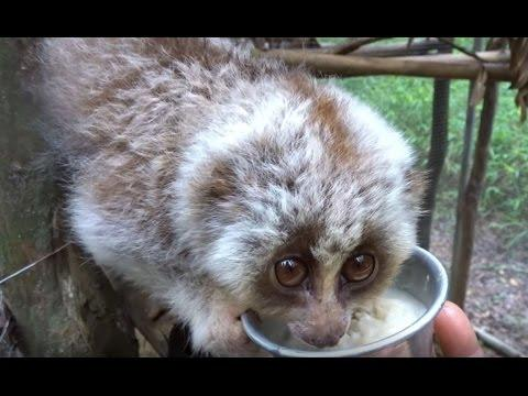 <p>This slow loris was feeling extra peckish at breakfast time and had no intention of letting his food bowl out of his grip!</p><p>The cute critter was housed at the Cuc Phuong National Park in Vietnam. Credit: Swiatoczamigoski via Storyful</p>