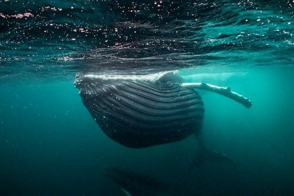 PHOTO: In the dimly lit waters of the Norwegian Arctic, a humpback whale fills its mouth with herring, its throat pleats fully expanded.  (Brian Skerry)