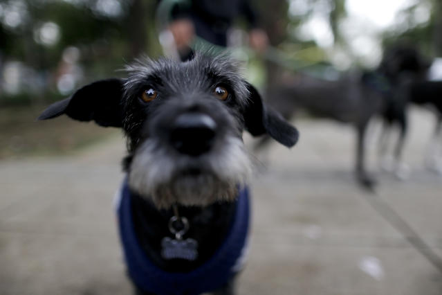 <p>Nina eyes the camera while walking through a park in Mexico City, Friday, Sept. 22, 2017. Nina's owner had to abandon his home after Tuesday's magnitude 7.1 earthquake. She is now being looked after by a friend until her owner can find a place suitable for pets, or is able to return to their home. (Photo: Natacha Pisarenko/AP) </p>