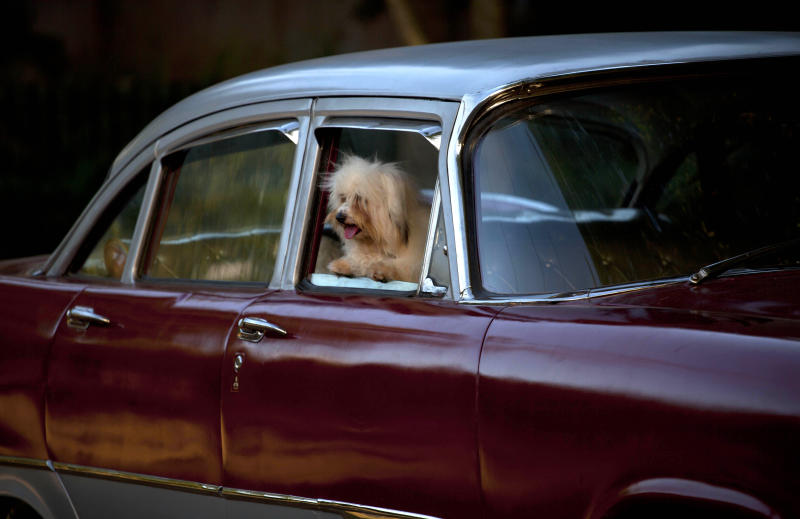 In this Nov. 23, 2012 photo, a bichon habanero dog named April Ferher peers from a car window before competing in the Fall Canine Expo in Havana, Cuba. Bichon habaneros are mid-sized dogs that have been bred on the island since the 17th century. Hundreds of people from all over Cuba and several other countries came for the four-day competition to show off their shih tzus, beagles, schnauzers and cocker spaniels that are the annual Fall Canine Expo's star attractions. (AP Photo/Ramon Espinosa)