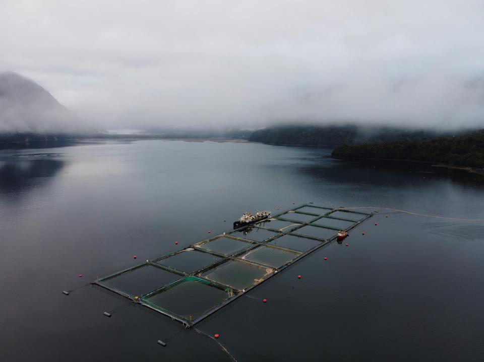 <p>Chilean authorities reported on 12 April the removal of 5,595 tons of dead salmon due to the growth of a tide of harmful algae, a phenomenon that some experts describe as an 'environmental catastrophe' and blame both on climate change and 'irresponsible salmon farming'</p> (EPA)
