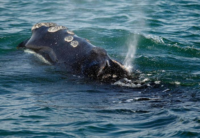 A North Atlantic right whale feeds on the surface of Cape Cod bay off the coast of Plymouth, Mass. March 28, 2018.