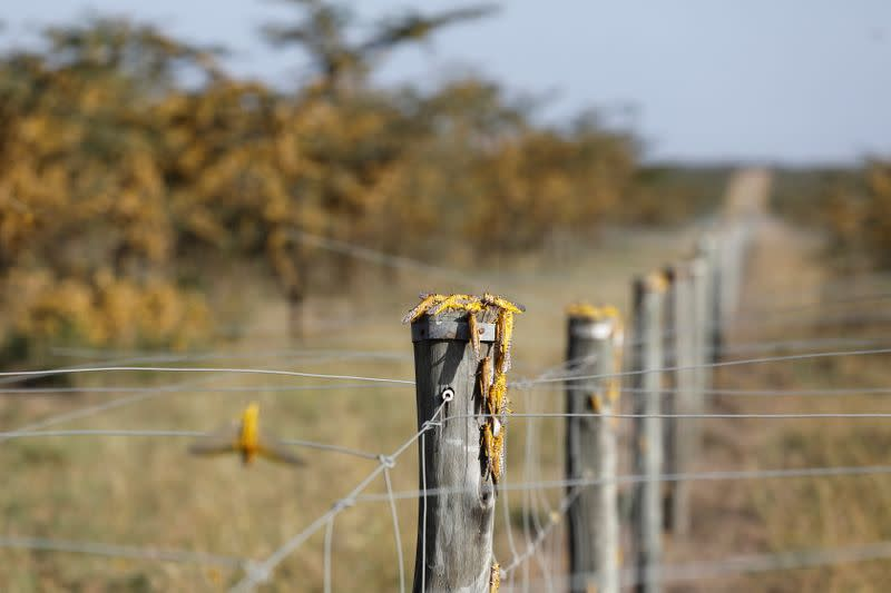 Desert locusts are seen on the fence surrounding a ranch near the town on Nanyuki in Laikipia county
