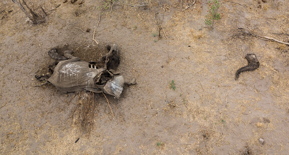 Drought has resulted in elephants being orphaned, particularly in Zimbabwe's north. Source: Getty