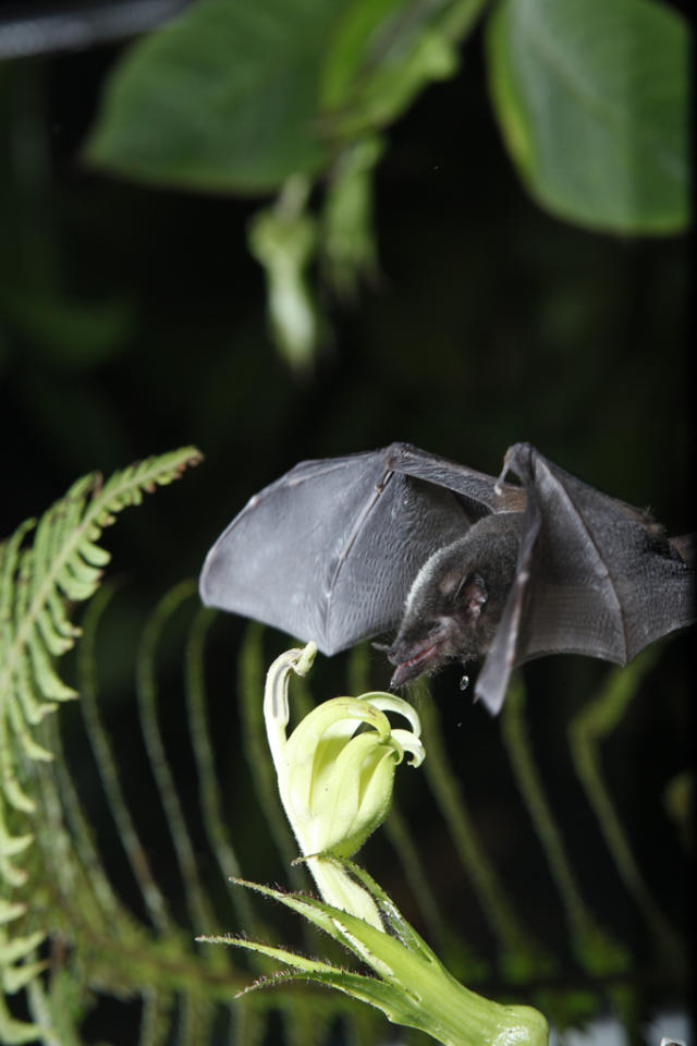 <b>Tube-Lipped Nectar Bat</b> (Anoura fistulata)<br>Andean Cloud Forest, Ecuador<br><br>The tube-lipped bat's tongue is 1.5 times its body length. This unique physical characteristic makes it the only bat species able to pollinate the long-necked flower, Centropogon nigricans.