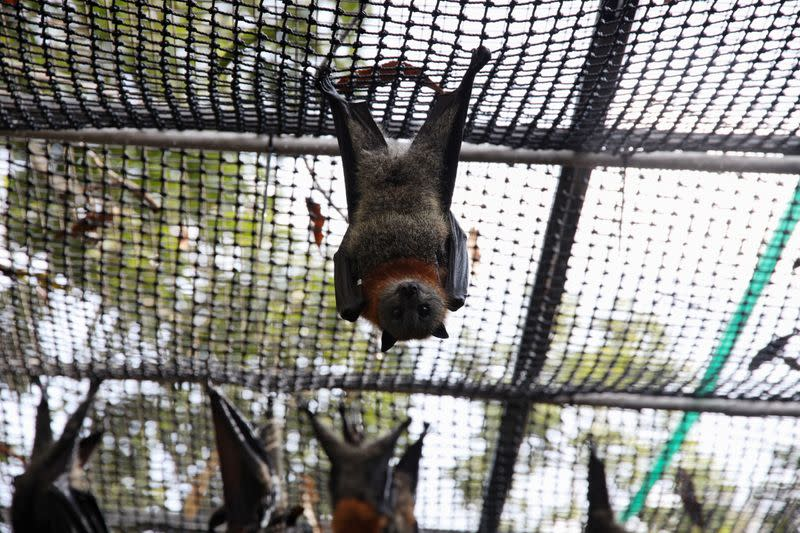 An adult grey-headed flying fox hangs in a care centre set up at a home in Bomaderry