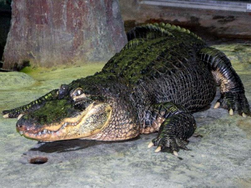 Moscow Zoo said the Mississippi alligator named Saturn died of old age: MOSCOW ZOO/AFP via Getty Images