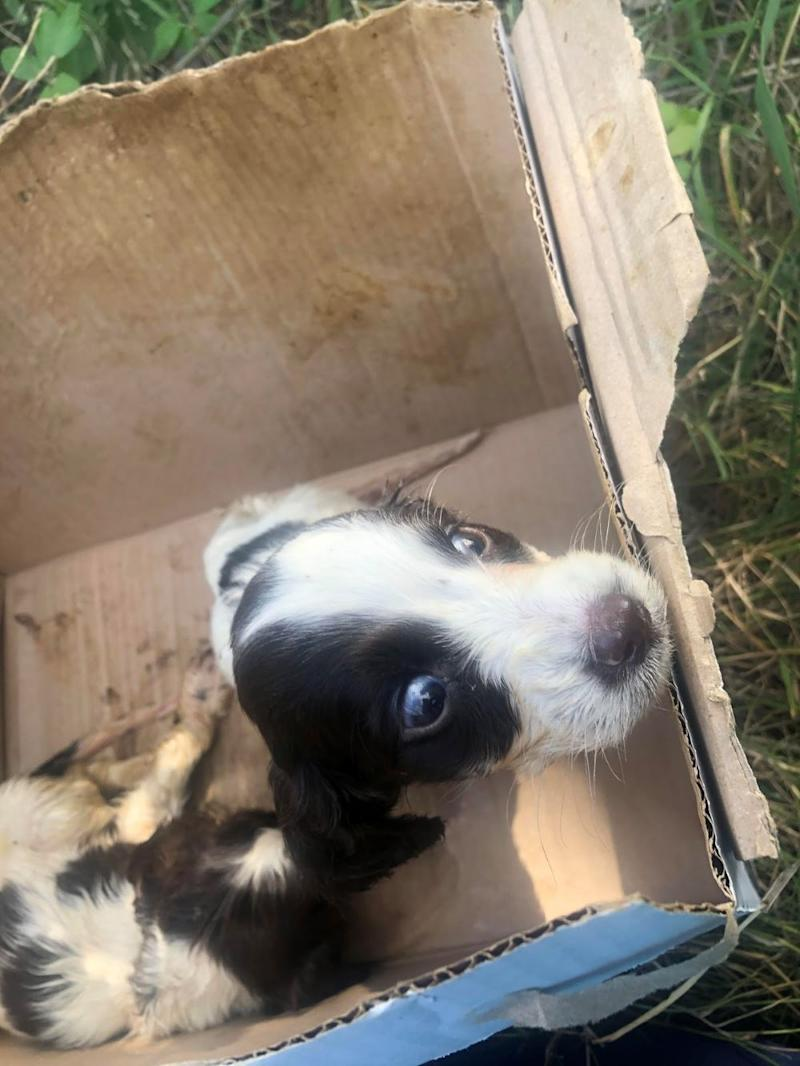 Spaniel puppy who was found abandoned in a box in Rochford, Essex