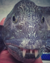 <p>Some fishy braces are perhaps needed for this freaky fish (CEN) </p>