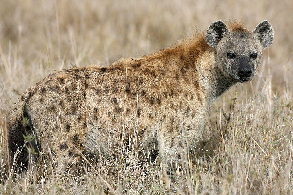 A Spotted Hyena walks through grassland in the Masai Mara Game Reserve, Kenya.