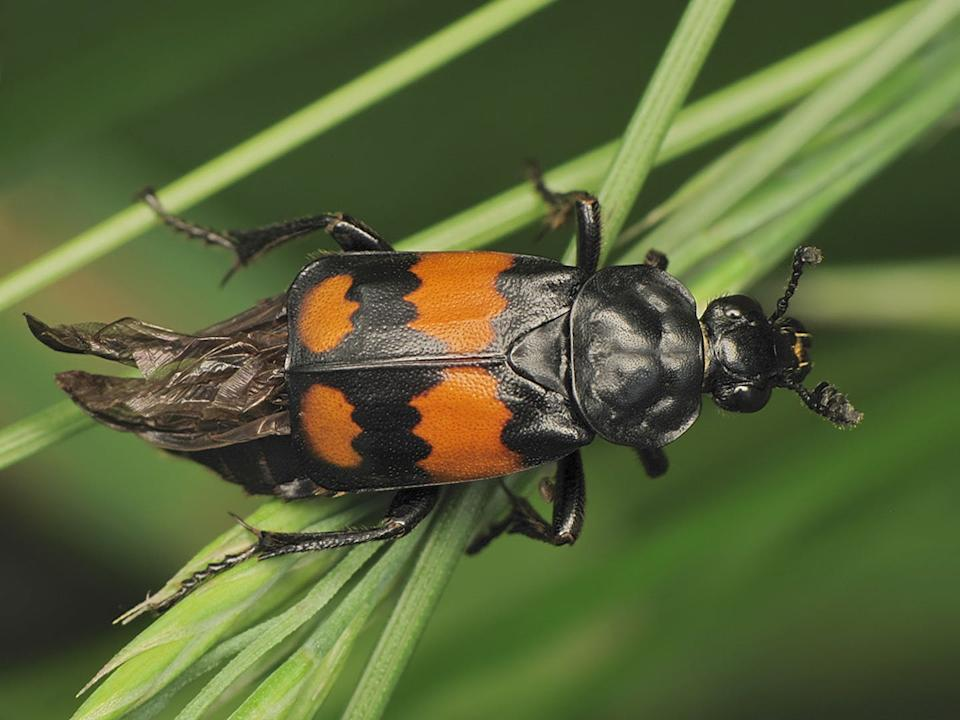 "<span class=""caption"">A carrion beetle always sports Halloween-appropriate colours.</span> <span class=""attribution""><span class=""source"">(ricosz/flickr)</span></span>"