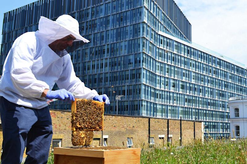 Rooftop harvest: a beekeeper at the Hilton London Bankside: Hilton Hotel