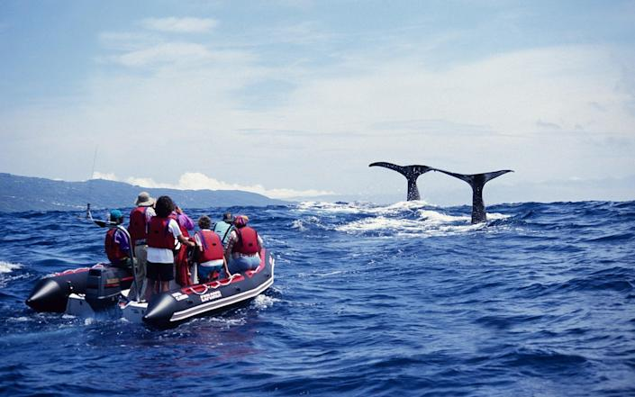 Sperm whale about to dive in the Azores - Gerard Soury/The Image Bank Unreleased