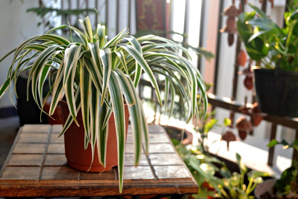 Spider plant on a wooden table at home balcony.