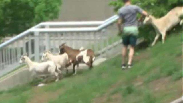 Animals break away from handlers prior to Pamplona-style 'Running of the Goats' in Kentucky