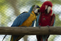 A blue-and-yellow macaw grooms a red-and-green macaw, inside an enclosure at BioParque, in Rio de Janeiro, Brazil, Wednesday, May 5, 2021. Last year, BioParque gave its macaws more space: a new 1,000-square-meter (10,700-square-foot) aviary. (AP Photo/Bruna Prado)