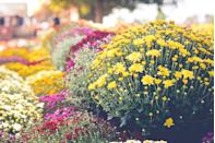 """<p>Symbolizing joy and longevity, <a href=""""https://gilmour.com/growing-chrysanthemum"""" rel=""""nofollow noopener"""" target=""""_blank"""" data-ylk=""""slk:chrysanthemums"""" class=""""link rapid-noclick-resp"""">chrysanthemums</a> offer a sensational range of shades and varieties. The first mention of mums date back to the 15th century in Chinese writings. </p><p><strong>When it blooms: </strong>Late July through fall</p><p><strong>Where to plant:</strong> Full sun</p><p><strong>When to plant: </strong>Mid-spring or early fall</p><p><strong>USDA Hardiness Zones:</strong> 5 to 9</p>"""
