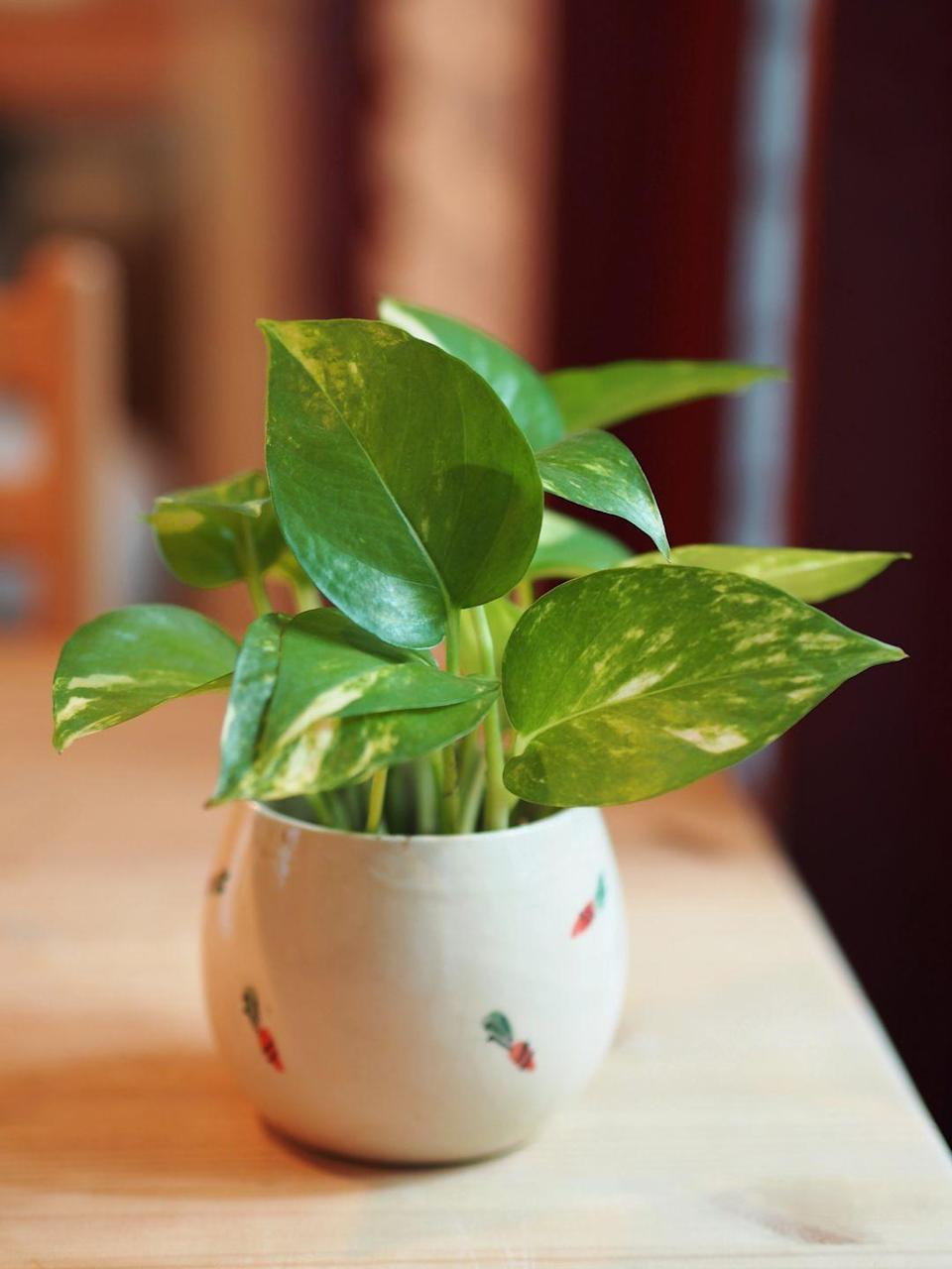 """<p><a class=""""link rapid-noclick-resp"""" href=""""https://www.amazon.com/Costa-Farms-Devils-Golden-Pothos/dp/B07TTJNM89/?tag=syn-yahoo-20&ascsubtag=%5Bartid%7C10057.g.3716%5Bsrc%7Cyahoo-us"""" rel=""""nofollow noopener"""" target=""""_blank"""" data-ylk=""""slk:BUY NOW"""">BUY NOW</a> <strong><em>$20, amazon.com</em></strong></p><p>Also known as Devil's Ivy, this sprawling plant is incredibly easy to take care of. It can tolerate the darkest cubicles and the brightest, window-filled offices with ease, and will still survive when you forgot to water it every once in a while. Look for cues on what kind of care it needs—yellow leaves mean it's been overwatered, while a droopy plant is thirsty. </p>"""