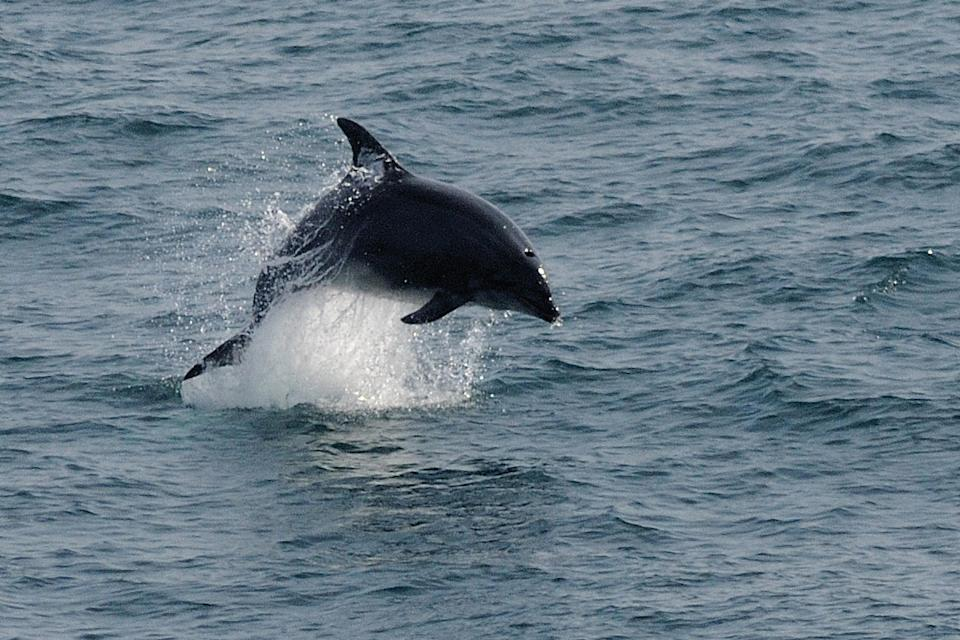 The Cornwall Wildlife Trust said the Bottlenose dolphin was in danger from intensive fishing and pollution (Adrian Langdon/Cornwall Wildlife Trust/PA).