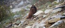 "<p><strong>Scientific classification</strong>: Marmota vancouverensis</p><p><strong>Location</strong>: Canada</p><p>Native to the southwestern Canadian island from which they get their name, these marmots live in small colonies consisting of 3 to 5 animals. They're prime examples of how small animals can contribute to and build ecosystems. While the marmots spend much of their time burrowing underground to stave off predators, as herbivores they act as seed dispersers and pollinators for the island's plants and grasses. Their complex burrow systems are used by other animals as well, providing homes to insects and smaller mammals.</p><p>While they're great at building ecosystems, the burrows are terrible as defense mechanisms. Vancouver Island marmots have devastatingly terrible predation rates. A shocking 83 percent of their yearly deaths come from predators like wolves, cougars, and golden eagles. These rates are increased through logging, which gives the animals fewer places to hide. Although populations are hard to detect, the IUCN estimates that <a href=""https://www.iucnredlist.org/species/12828/22259184#threats"" rel=""nofollow noopener"" target=""_blank"" data-ylk=""slk:only 90 mature adults are still alive"" class=""link rapid-noclick-resp"">only 90 mature adults are still alive</a>. </p><p>Add in long-term environmental pressures expected to occur through climate change, which scientists believe will radically reshape British Columbia to <a href=""https://vancouversun.com/news/local-news/climate-change-predicted-to-transform-vancouver-into-san-diego-but-at-a-heavy-cost"" rel=""nofollow noopener"" target=""_blank"" data-ylk=""slk:resemble the southern California desert"" class=""link rapid-noclick-resp"">resemble the southern California desert</a>, creates a grim picture.</p>"