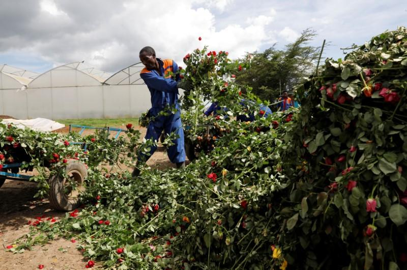 Workers throw away roses that can not be shipped to Europe due of the spread of the coronavirus disease at the Maridadi flower farm in Naivasha