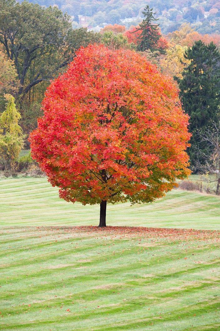 """<p>If you're looking for an impressive tree that's the absolute queen of fall color, plant a sugar maple. There's no other tree that offers golds, burnt orange, and crimson shades like this one. </p><p>It's a fast grower, eventually reaching 55 to 75 feet in height and 30 to 50 feet in width—so give it tons of space to spread its beautiful canopy.</p><p><a class=""""link rapid-noclick-resp"""" href=""""https://www.fast-growing-trees.com/products/sugar-maple-tree"""" rel=""""nofollow noopener"""" target=""""_blank"""" data-ylk=""""slk:SHOP NOW"""">SHOP NOW</a></p>"""