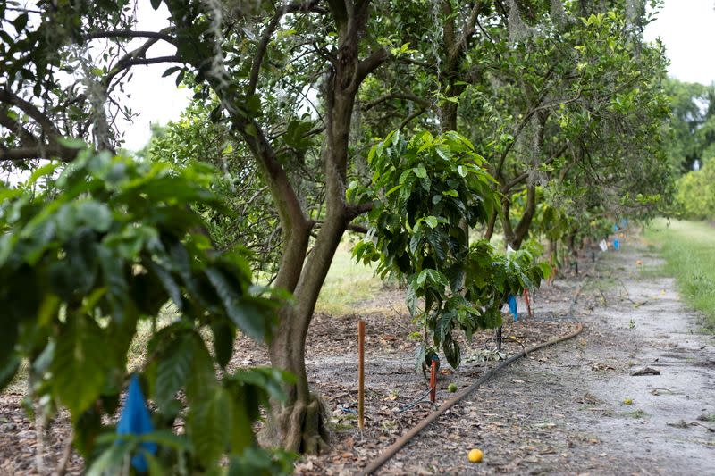 Research coffee trees planted amongst citrus