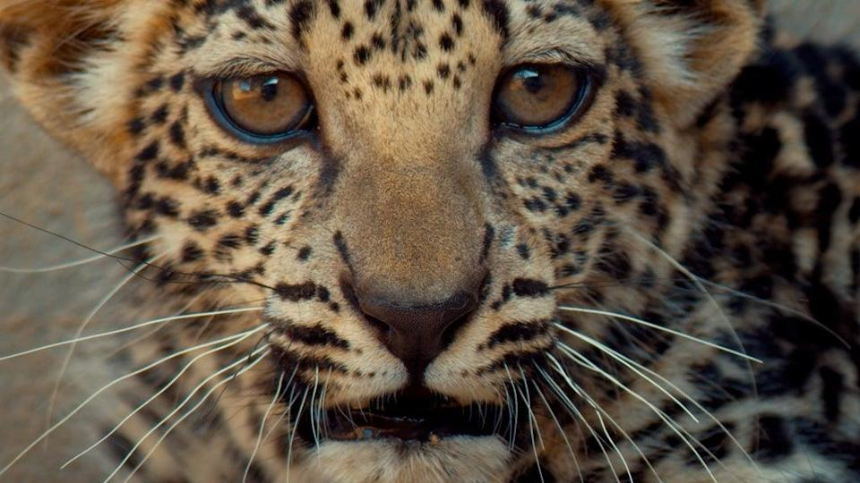 The leopard is the 16th cub to be born at the Arabian Leopard Breeding Center (Aline Coquelle)