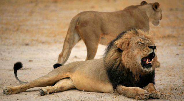 Cecil (pictured) had been fitted with a collar to track his movements but strayed outside the confines of Hwange National Park and was then shot. Photo: AAP