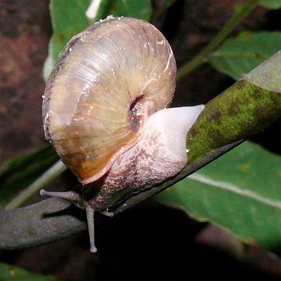 Snail Sacrifices Foot to Survive Snake Attacks