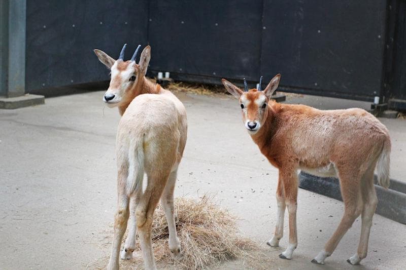 Two female baby oryxes - an endangered dear-like mammal that are classed as extinct in the wild - were recently born as a first for the Surrey Theme Park's zoo. (Chessington World of Adventures)