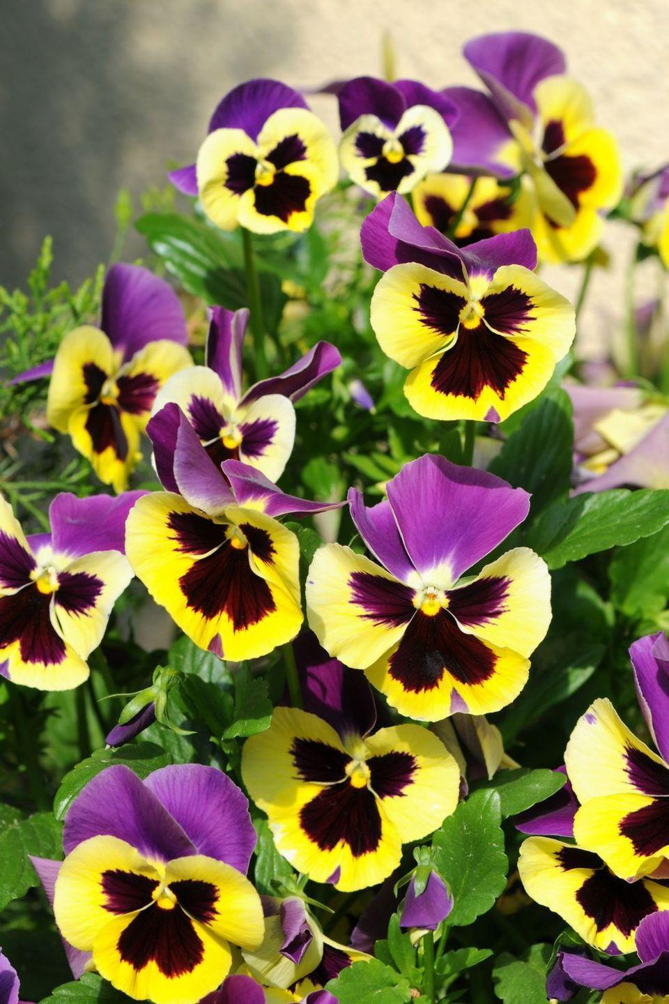 """<p>Derived from the French word """"pansée,"""" this bloom means thoughtfulness and remembrance. That may be why you often see them planted at funeral plots. They're also hardy little plants, so they work well for those of us who have, um, less-than-green thumbs. </p>"""