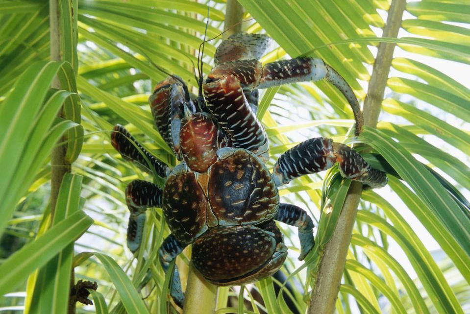 A massive coconut crab, which are presumably named for their resemblance to a bunch of coconuts, climbing a tree