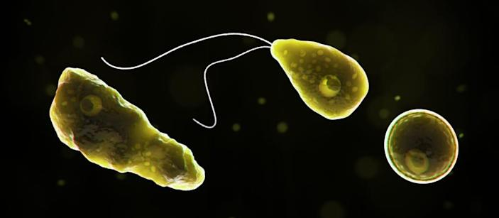 """Naegleria fowleri (commonly referred to as the """"brain-eating amoeba"""" or """"brain-eating ameba""""), is a free-living microscopic ameba. It can cause a rare and devastating infection of the brain called primary amebic meningoencephalitis (PAM)."""