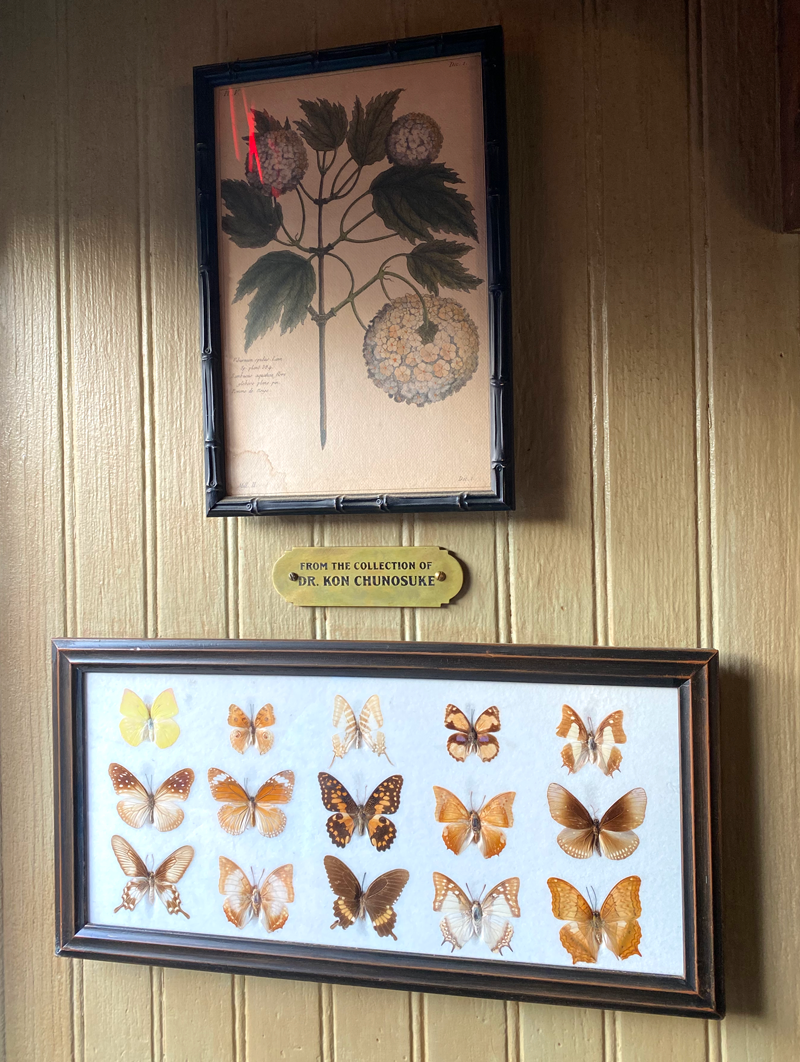 A placard with From the collection of Dr. Kon Chunosuke on it, and framed butterflies