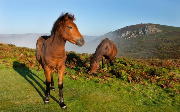 Ponies grazing on the open moorland of Dartmoor. Four of the animals faced possible slaughter after being detained at a Belfast port over problems with paperwork