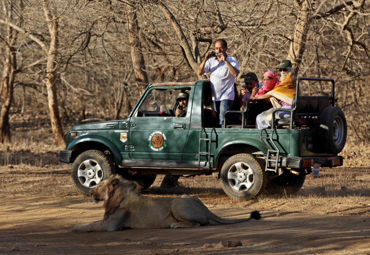 In this March 25, 2012 photo, tourists take photos of a lion during a safari at the Gir Sanctuary in the western Indian state of Gujarat, India. Nurtured back to about 400 from less than 50 a century ago, these wild Asiatic lions are the last of a species that once roamed from Morocco and Greece to the eastern reaches of India. The subject of saving lions is an emotional one in India. The lion also holds iconic status in religions and cultures. The multi-armed Hindu warrior goddess Durga is traditionally shown with a lion as her mount. Four lions make the national emblem - symbolizing power, courage, pride and confidence. (AP Photo/Rajanish Kakade)