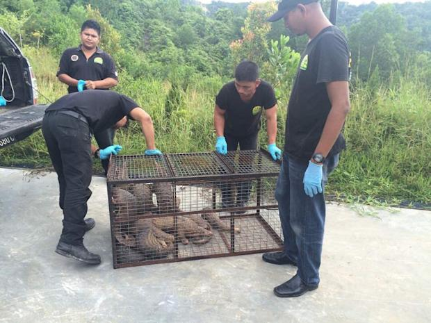 More pangolins rescued by the Sabah Wildlife Department's wildlife rescue unit.