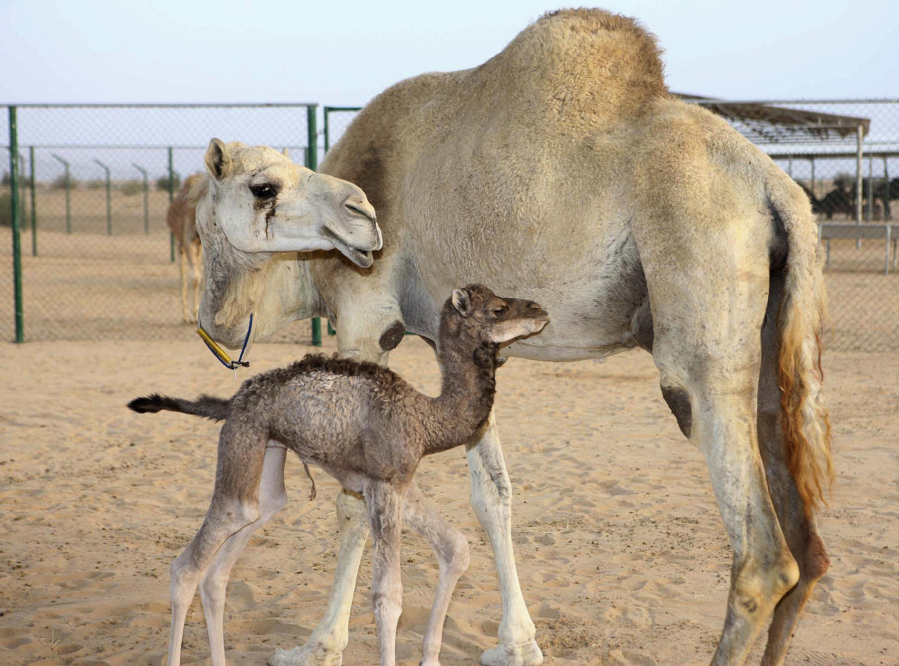 The world's first cloned camel, Injaz (front), is seen at the Camel Reproduction Centre in Dubai