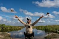 Thousands of migratory songbirds are caught in Florida each year to supply a thriving illegal market. It can sometimes takes weeks of rehabilitation to strengthen the wings of confiscated songbirds so they can fly again. Here, Florida Fish and Wildlife Conservation Commission Lt Antonio Dominguez releases rose-breasted grosbeaks back into the wild. (National Geographic/Karine Aigner)