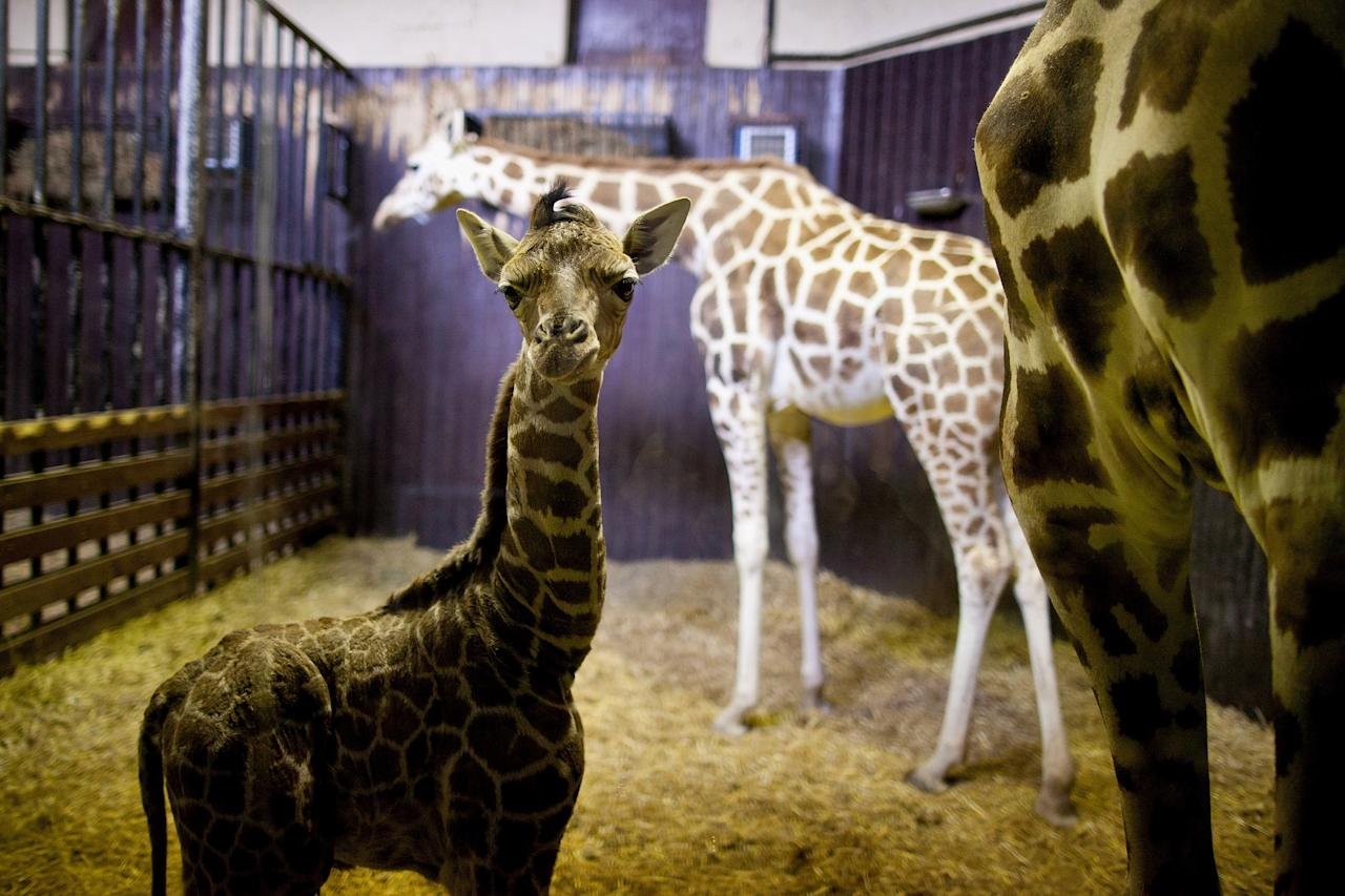 A three day old new born giraffe stands indoors with its mother on April 11, 2012 in Madrid, Spain. Tatu, a Rothschildi Giraffe, gave birth on April 8 at the Zoo Aquarium of Madrid.  (Photo by Pablo Blazquez Dominguez/Getty Images)