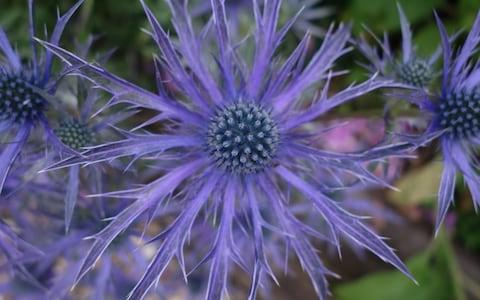 Eryngium 'Blue Waves'