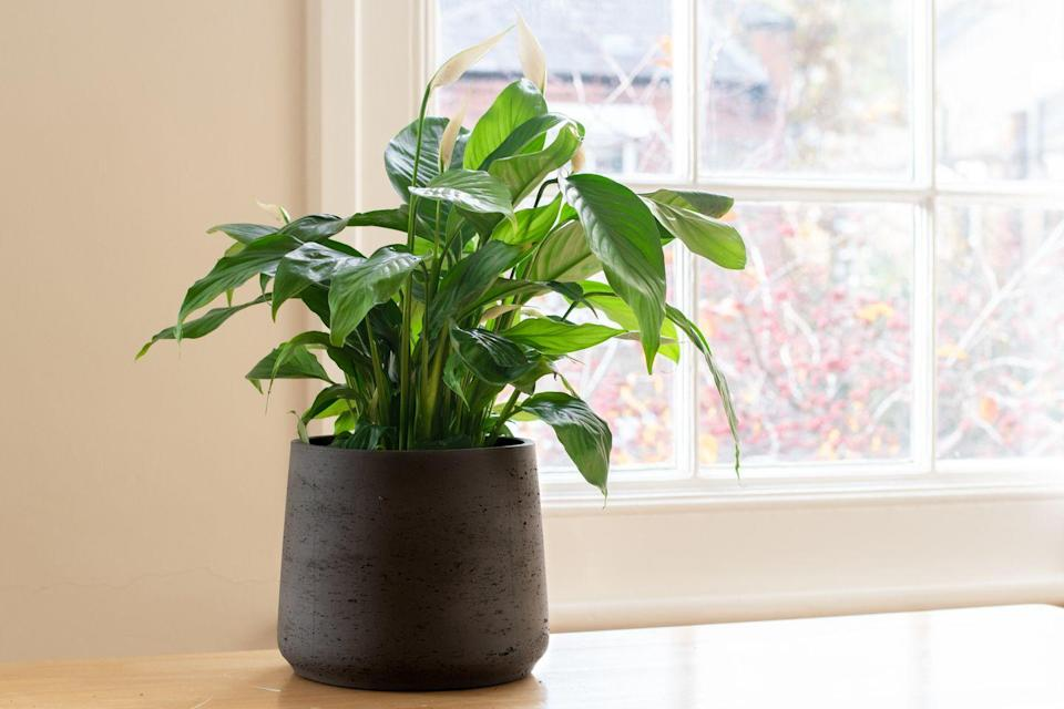 "<p>The Peace Lily is native to tropical rainforests, making it an excellent plant to have growing in your bathroom (it also looks gorgeous, too). With deep, glossy green leaves and bright white flowers, it loves moisture and prefers to be kept in low light locations. </p><p><a class=""link rapid-noclick-resp"" href=""https://go.redirectingat.com?id=127X1599956&url=https%3A%2F%2Fwww.crocus.co.uk%2Fplants%2F_%2Fspathiphyllum-sweet-lauretta-pbr%2Fclassid.2000035913%2F&sref=https%3A%2F%2Fwww.countryliving.com%2Fuk%2Fhomes-interiors%2Finteriors%2Fg33454786%2Fbathroom-plants%2F"" rel=""nofollow noopener"" target=""_blank"" data-ylk=""slk:BUY NOW"">BUY NOW</a></p>"
