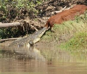 Wholly cow, croc hits jackpot