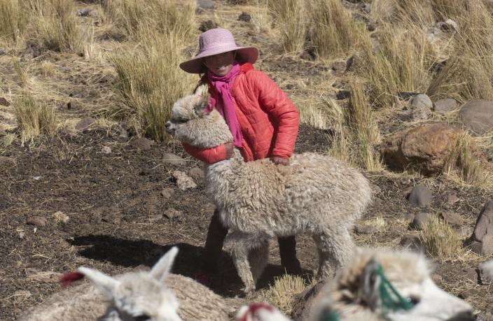 Leila Ccaico, 11, plays with one of her family's alpacas on her family's land in Licapa, Peru, Thursday, Sept. 2, 2021. Ccaico, whose parents are alpaca herders, said she stopped speaking Quechua fluently at the age of six when her older sister told her to stop because passersby would make fun of them. (AP Photo/Franklin Briceno)